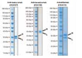 美国伯乐 生物制药测试开发抗体